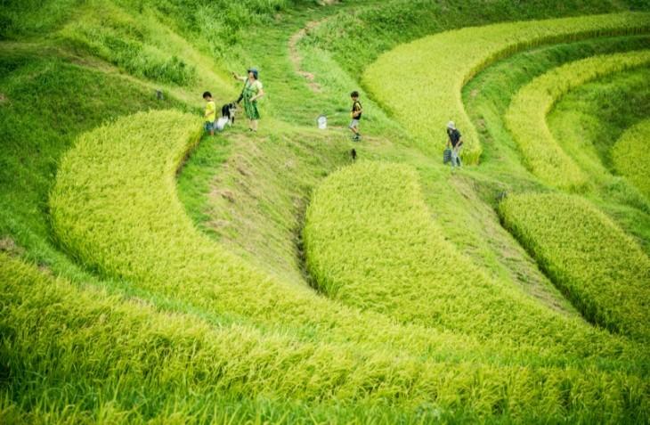 Campos de arroz en terrazas class=