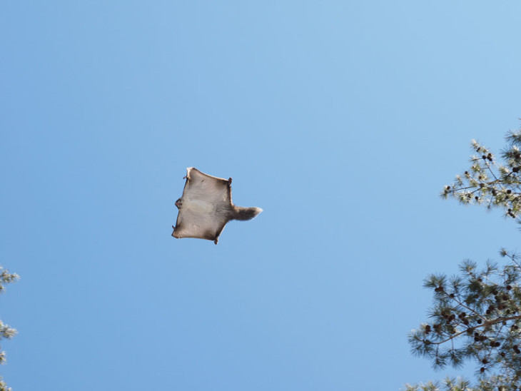 flying squirrel in japan