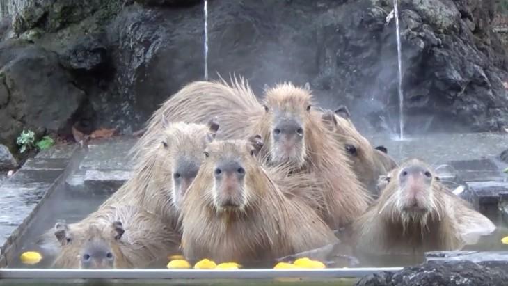 Kapibaras bañándose en onsen class=