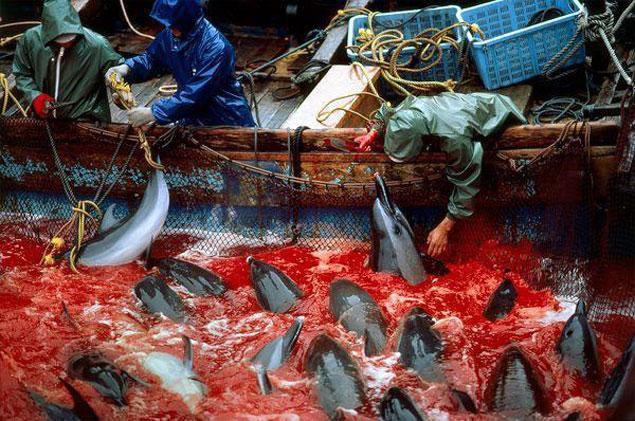 Matanza anual de delfines en Taiji, Japón class=